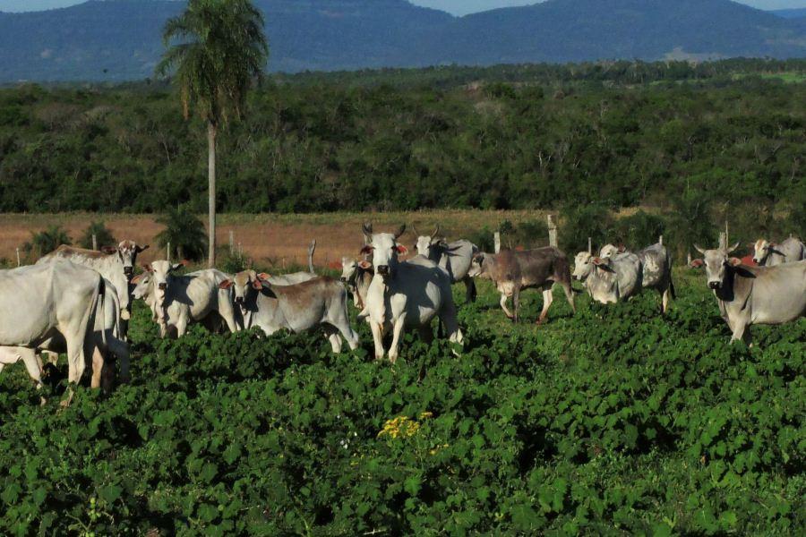 ganado vaca ganadería ARP producción