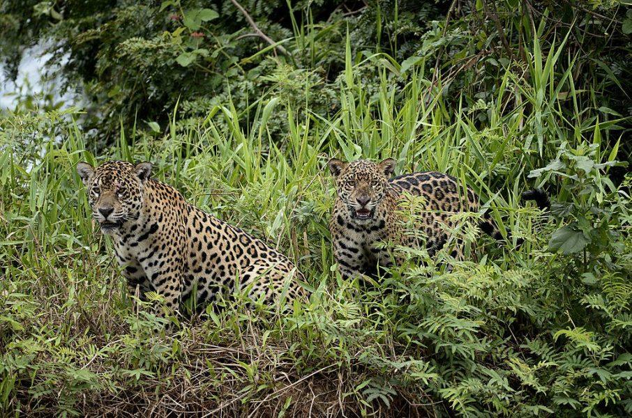 Los jaguaretés están en riesgo por los incendios en el Chaco