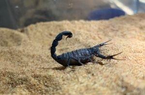 Androctonus alacrán o escorpión